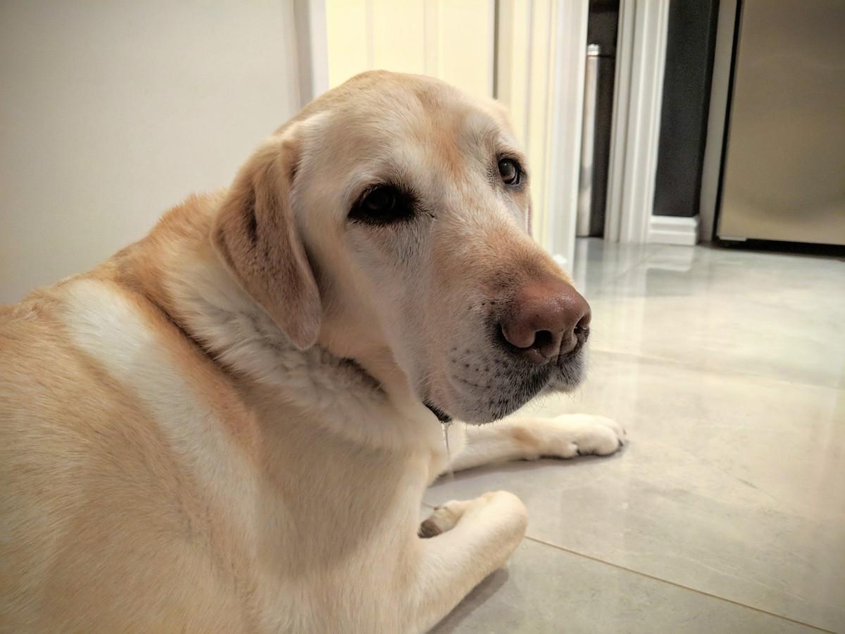 Votre chienne va bientôt mettre bas ?